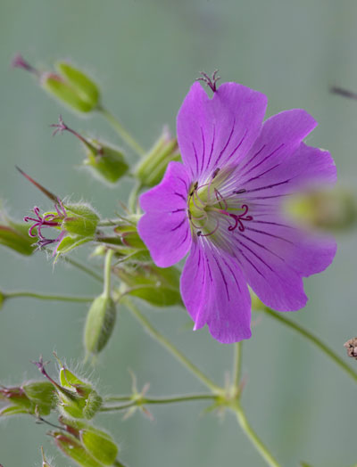 geranium bloem-paars