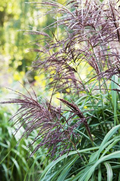 Siergrassen in de tuin of op het terras
