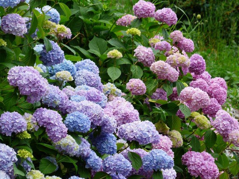 De 9 beste hortensia-tips