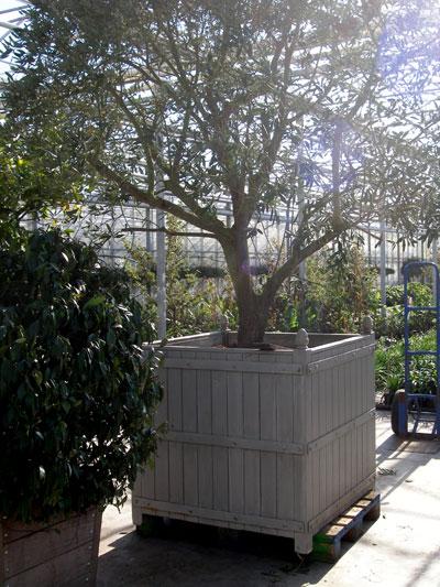 Overwintertips voor mediterrane kuipplanten