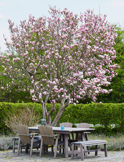 Magnolia boom bloeitijd