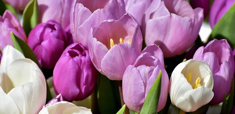 Tulpen en andere bloembollen in de tuin