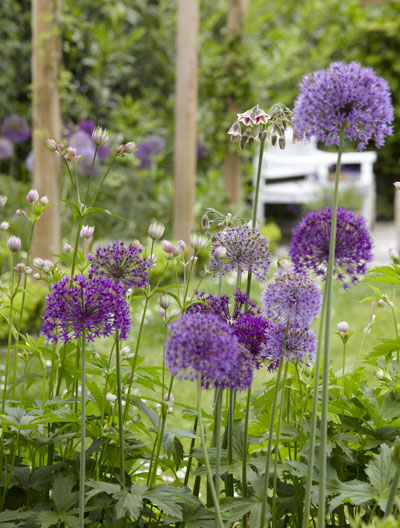 Allium, aanwinst in de border