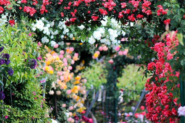 8 tips voor gezonde rozen