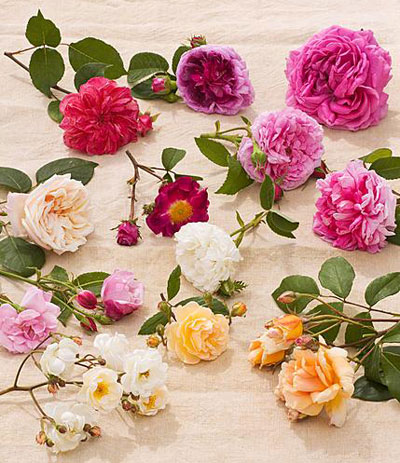 Rozen verzameling historische rozen