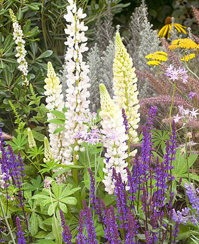 kitchen cottage tuin, border met lupines
