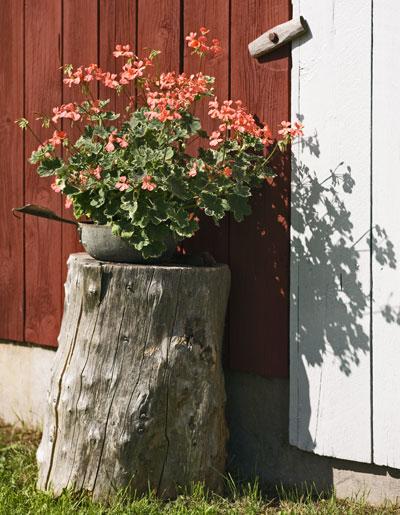 roze geranium tegen achtergrond van Zweeds rood