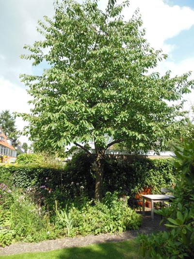 kersenboom-eind-juli
