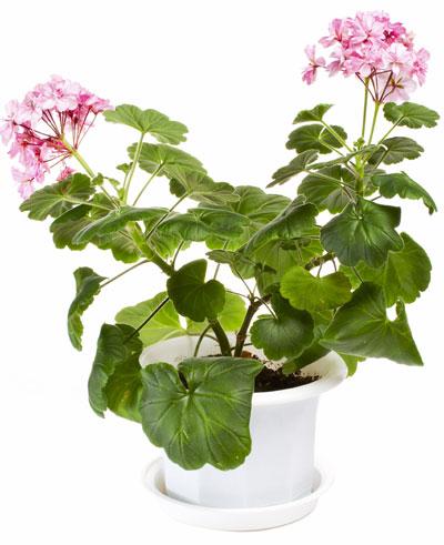 zorgeloze zomerklusjes, geranium in pot