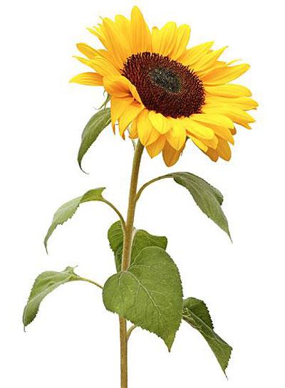 Hangende Zonnebloemen? Dit Werkt Écht