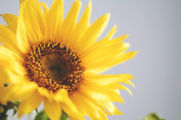 Zonnebloemen: Alles Wat Je Wil Weten