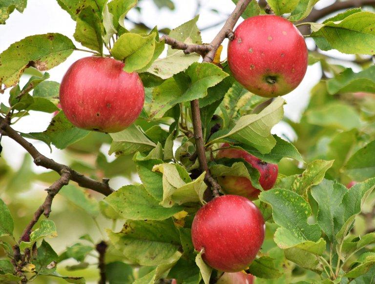 In 4 stappen een appelboom kiezen
