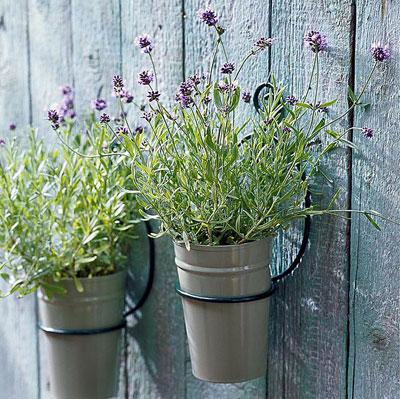 geurige lavendel, in potten aan de muur