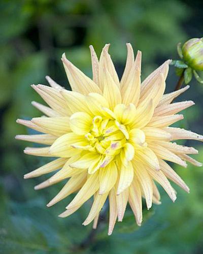 eigen pluktuin vol dahlia's, gele cactusdahlia