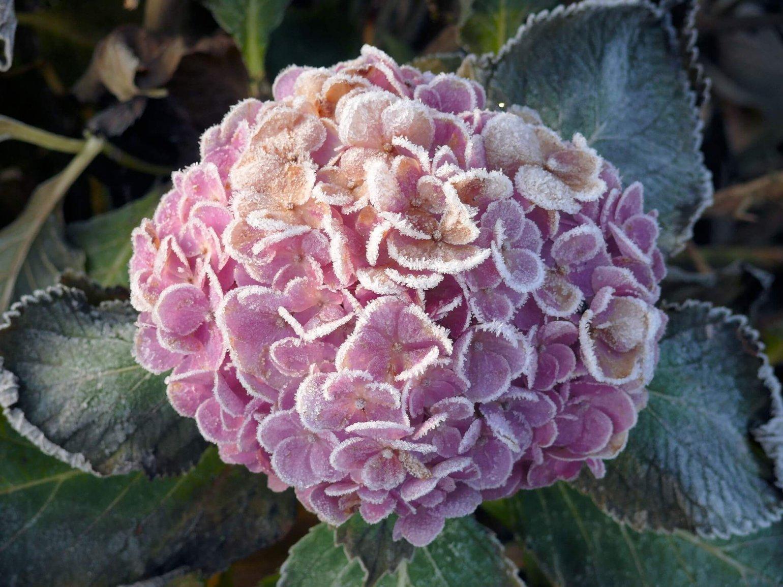 Hortensia wintertuin