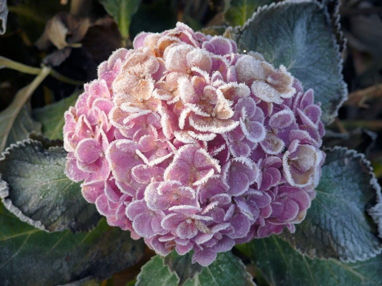 Hortensia in de wintertuin