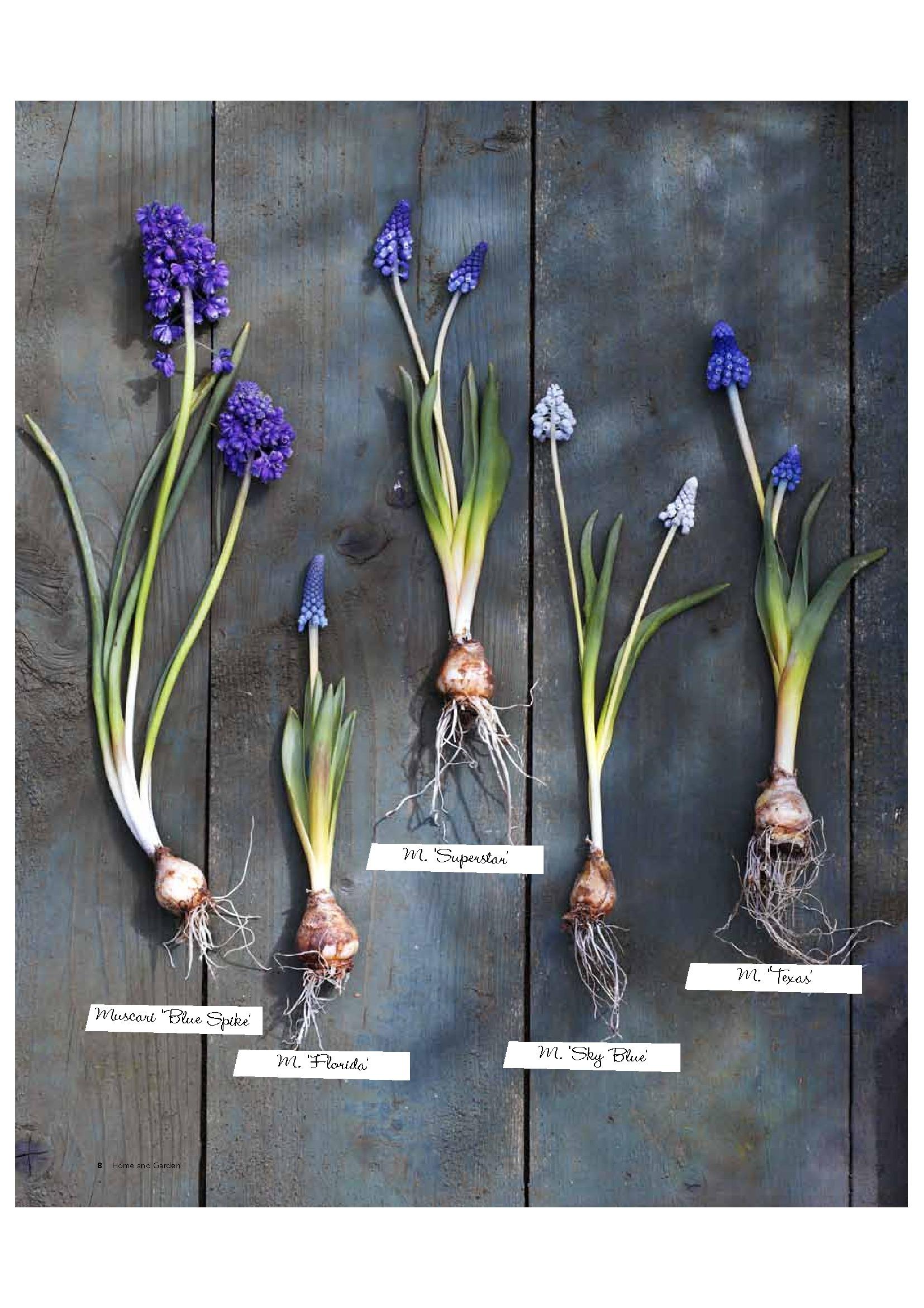 Parels van het voorjaar: blauwe druifjes