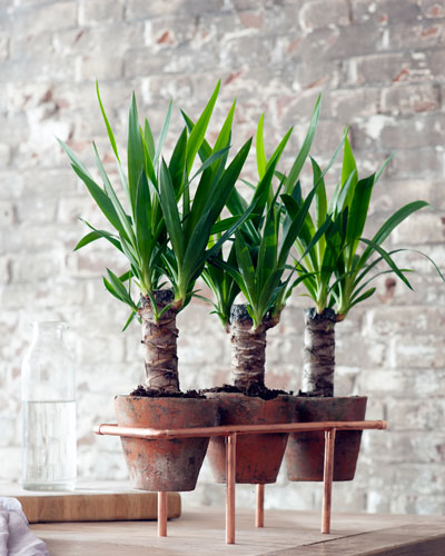 Nieuw groen in huis: drie yucca's op een rijtje