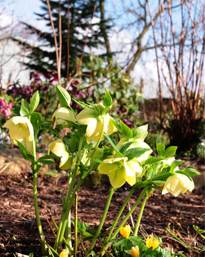 Voorjaarsbloeiers in Groningse tuin