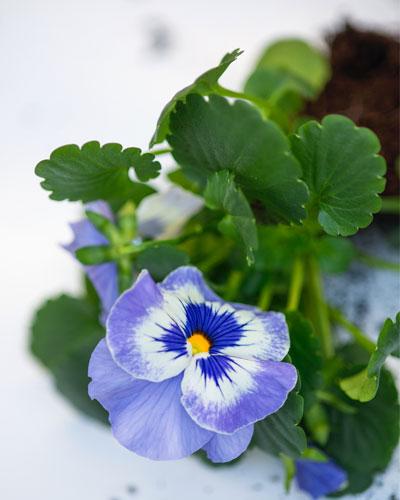 hoornviooltjes: Viola 'Delfts Blauw'