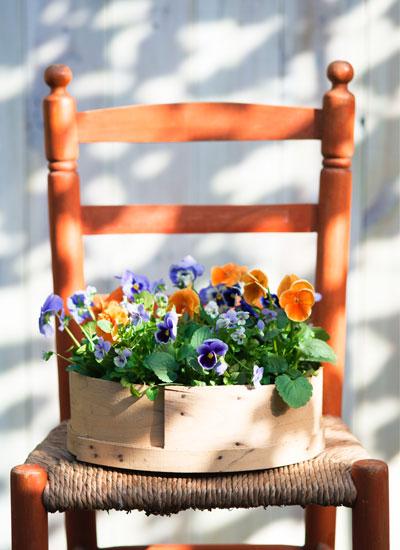 Hoornviooltjes in bak op oranje stoel