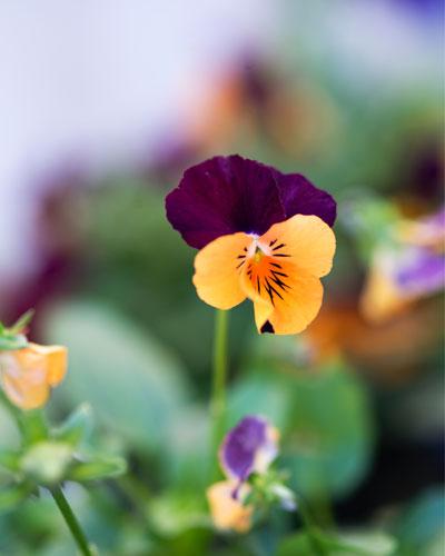Hoornviooltjes in paars-oranje