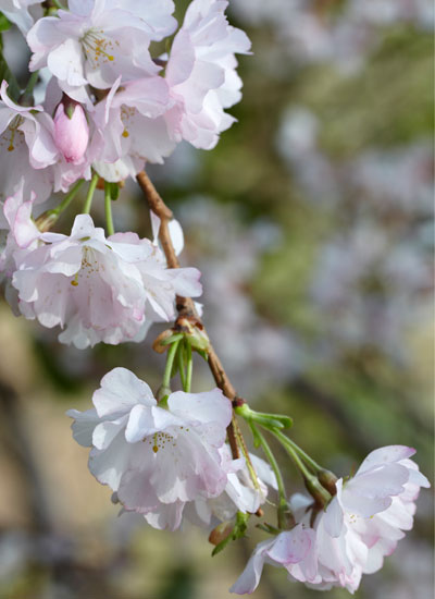"""Kersenbloesem, Prunus 'Accolade"""""""
