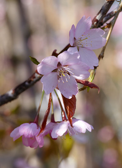 kersenbloesem, Prunus sargentii
