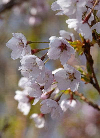kersenbloesem, Prunus yedoensis