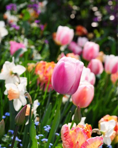 bolleboos-tulpen-close