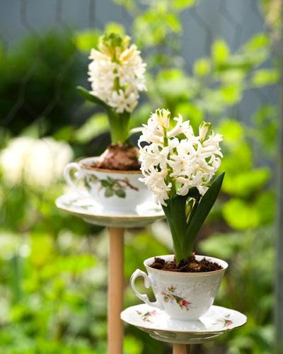 bloeiende bollen, witte hyacinten, in theekopjes op stok