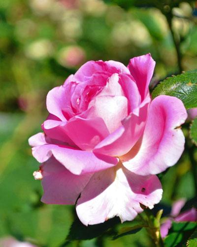 maarttuinklusjes, roze roos