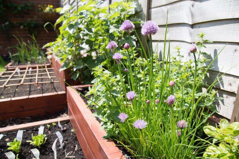 Geurige kruiden in de tuin
