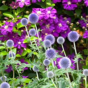 6x zomerse paarse bloemen