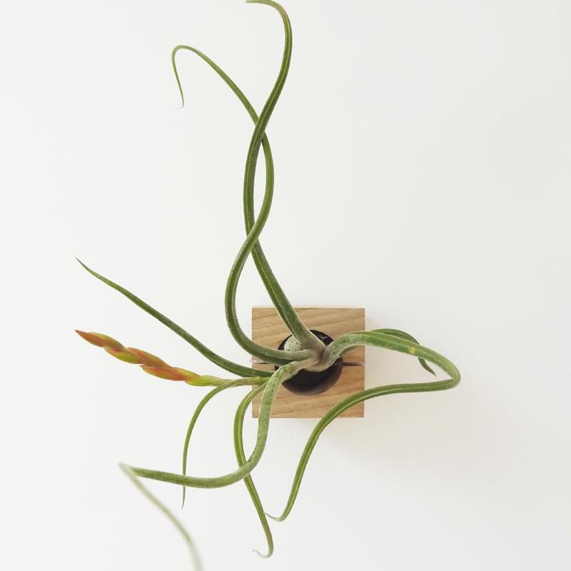 Fraaie luchtplanten