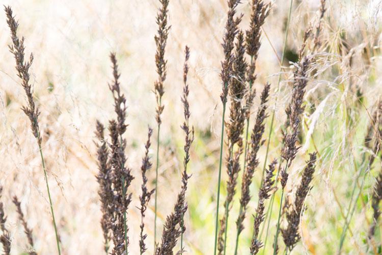 Siergrassen: Molinia caerulea 'Moorhexe'