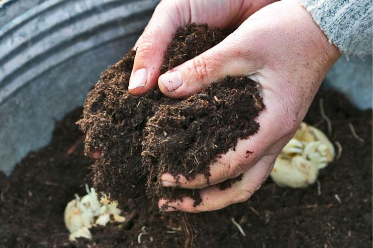 voorjaarsbollen, handen met aarde