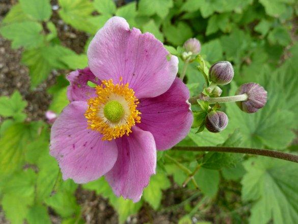 Anemone Hadspen Abundance