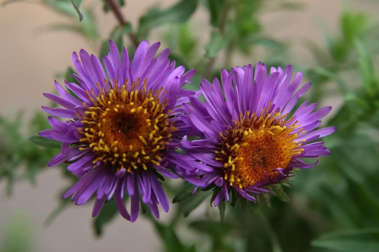 Herfstaster: Aster novae-angliae 'Purple Dome'