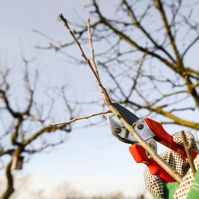 Doen: fruitbomen snoeien