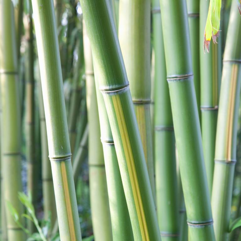 Dwalen tussen bamboe