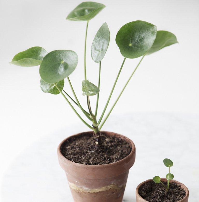 Pannenkoekplant: Wat & Hoe