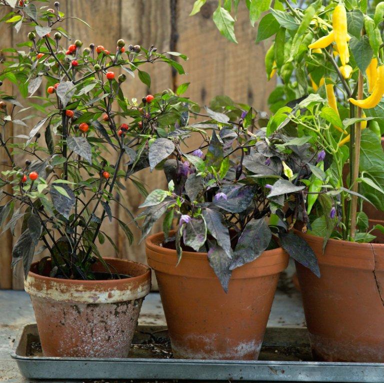 Zelf kweken: tomaten, aubergines, pepers & paprika's