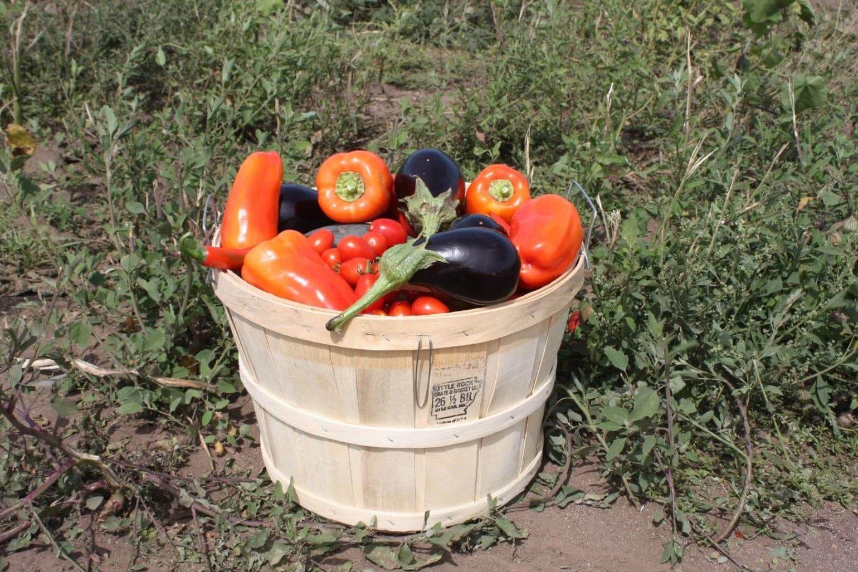 Moestuin tomaten, aubergines, pepers & paprika's