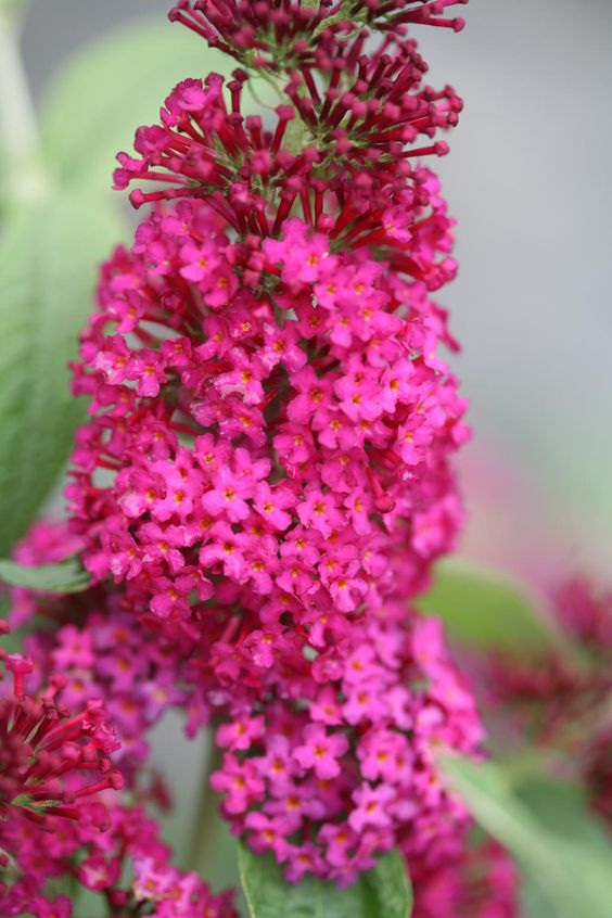 Vlinderstruik: Wat & Hoe