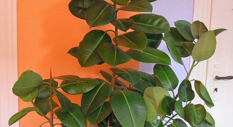 Rubberbladplant: Wat & Hoe