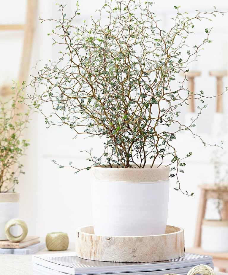 Winnen! 10x Maori Sophora Plant