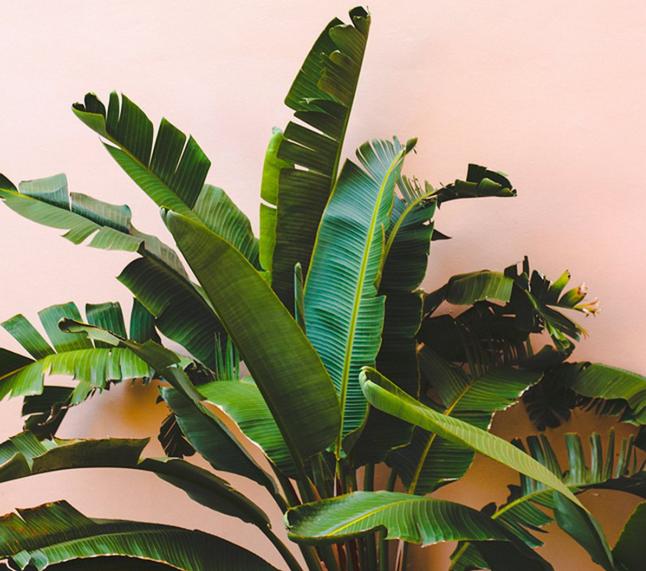 Bananenplant: Wat & Hoe