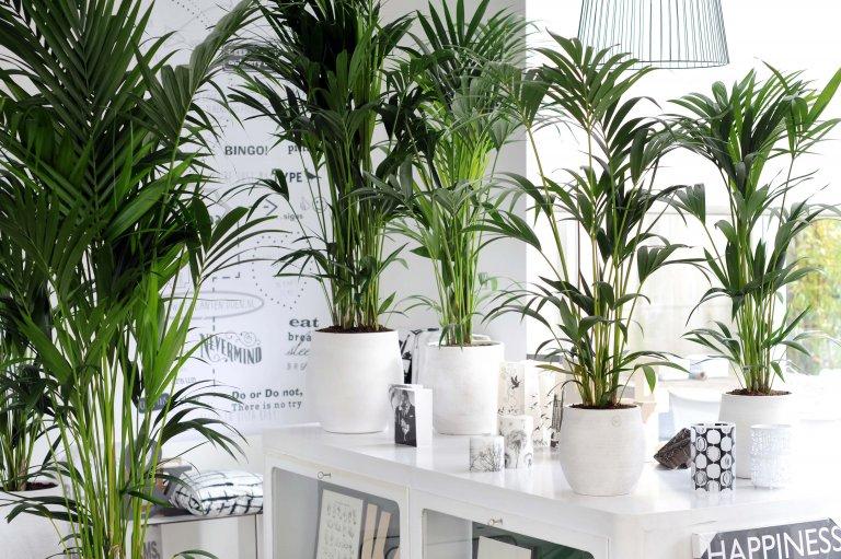 Kentia-palm: Wat & Hoe