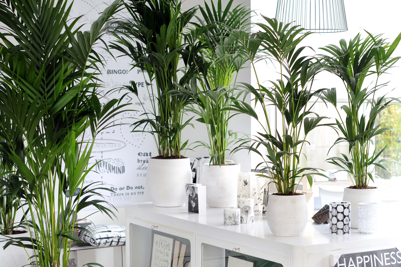 Kentia-palm plant